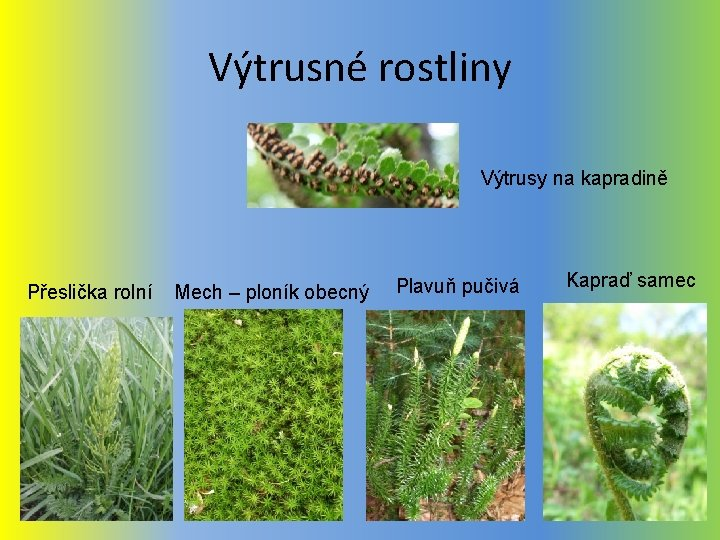 Výtrusné rostliny Výtrusy na kapradině Přeslička rolní Mech – ploník obecný Plavuň pučivá Kapraď