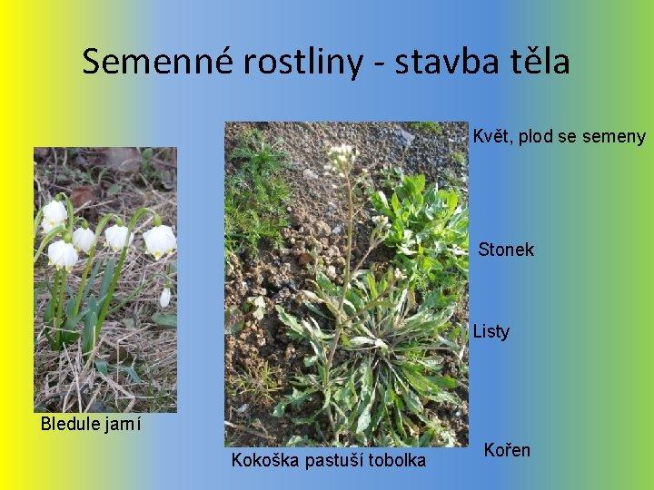 Semenné rostliny - stavba těla Květ, plod se semeny Stonek Listy Bledule jarní Kokoška