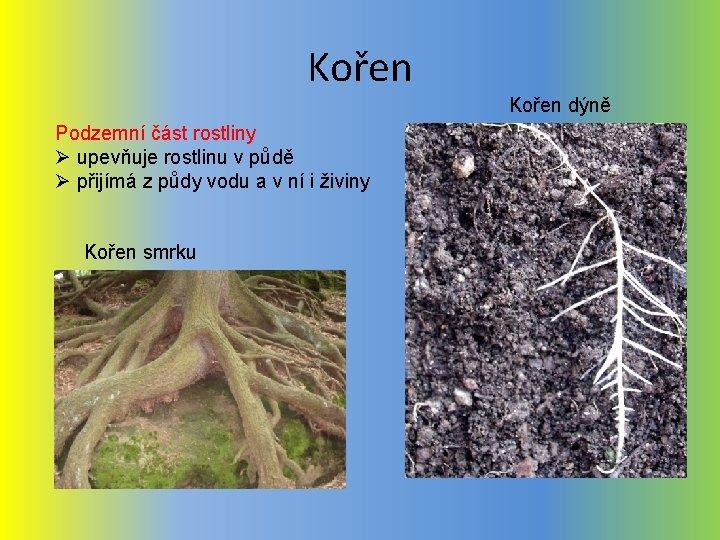 Kořen dýně Podzemní část rostliny Ø upevňuje rostlinu v půdě Ø přijímá z půdy