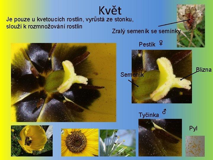 Květ Je pouze u kvetoucích rostlin, vyrůstá ze stonku, slouží k rozmnožování rostlin Zralý