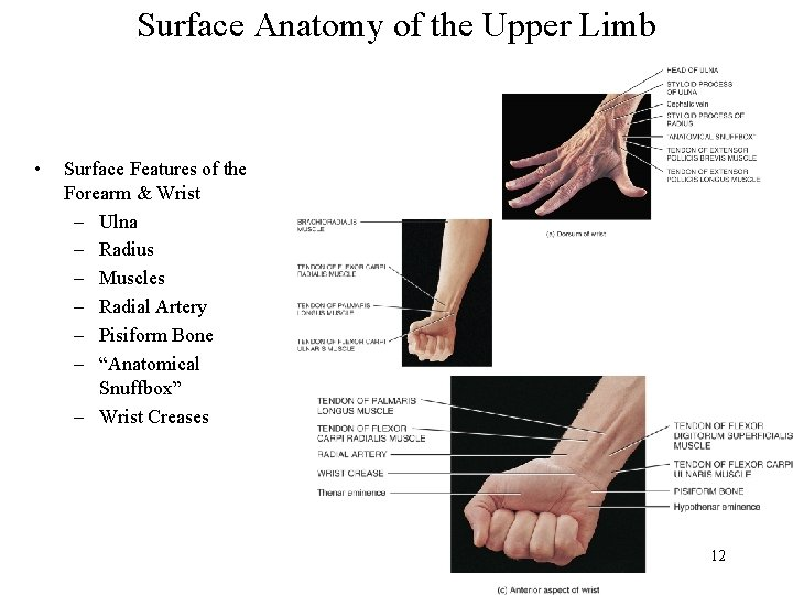 Surface Anatomy of the Upper Limb • Surface Features of the Forearm & Wrist