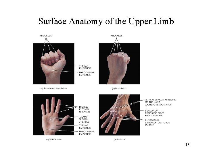 Surface Anatomy of the Upper Limb 13