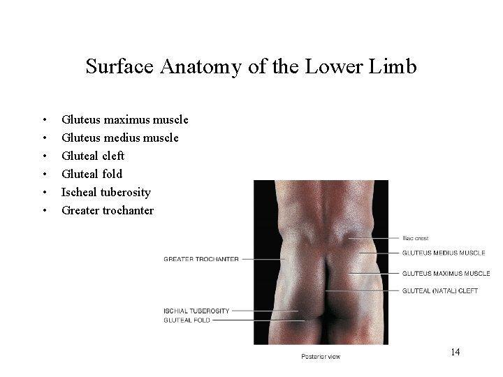 Surface Anatomy of the Lower Limb • • • Gluteus maximus muscle Gluteus medius