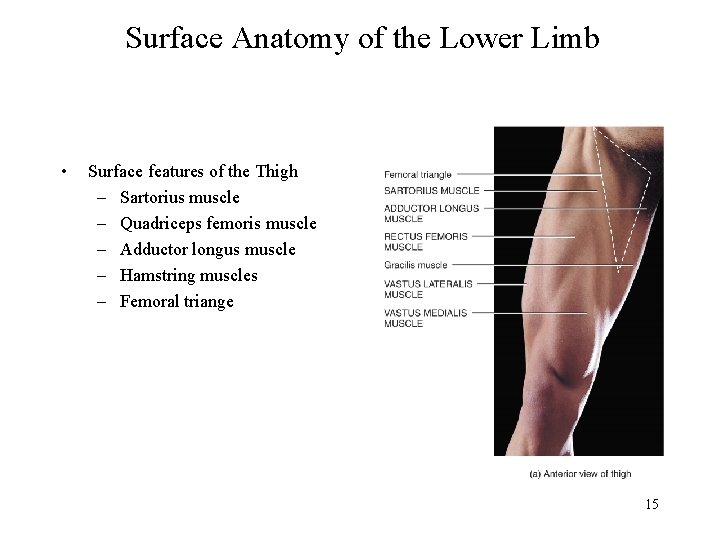 Surface Anatomy of the Lower Limb • Surface features of the Thigh – Sartorius