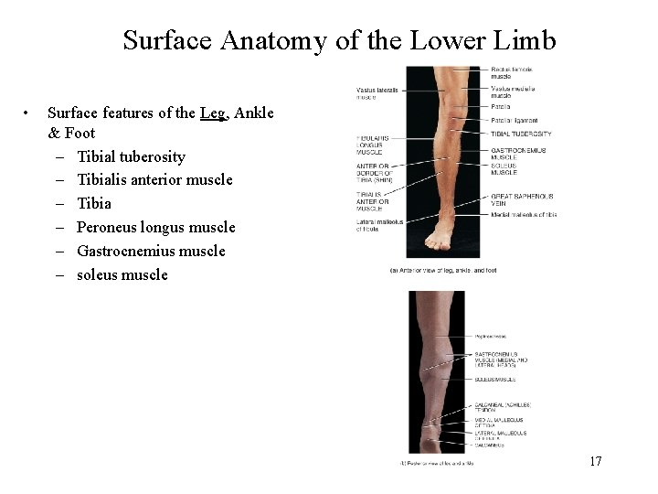 Surface Anatomy of the Lower Limb • Surface features of the Leg, Ankle &
