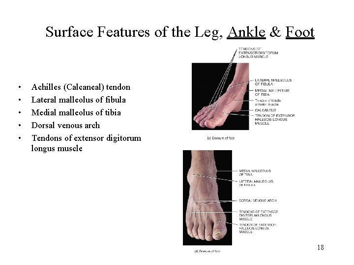 Surface Features of the Leg, Ankle & Foot • • • Achilles (Calcaneal) tendon