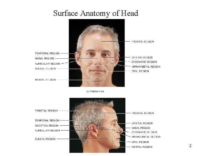 Surface Anatomy of Head 2