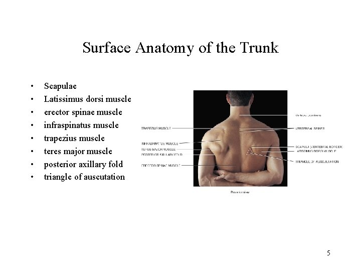 Surface Anatomy of the Trunk • • Scapulae Latissimus dorsi muscle erector spinae muscle