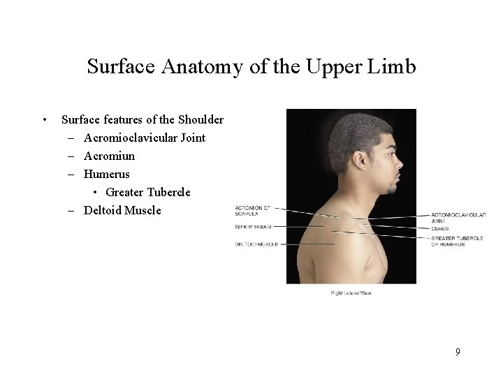 Surface Anatomy of the Upper Limb • Surface features of the Shoulder – Acromioclavicular