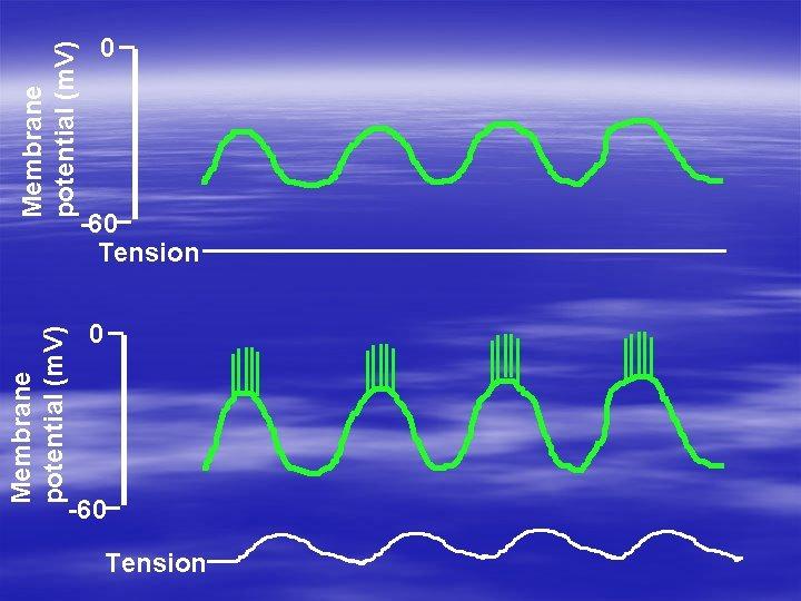 Membrane potential (m. V) 0 -60 Tension