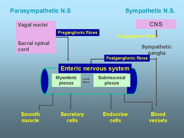 Parasympathetic N. S Sympathetic N. S. CNS Vagal nuclei Preganglionic fibres Sacral spinal cord