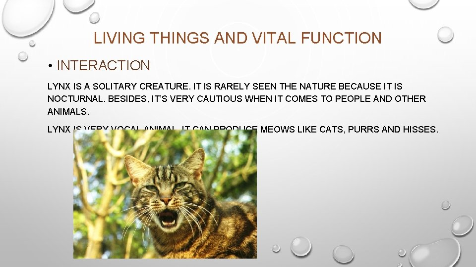 LIVING THINGS AND VITAL FUNCTION • INTERACTION LYNX IS A SOLITARY CREATURE. IT IS