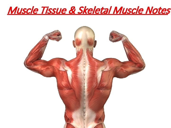 Muscle Tissue & Skeletal Muscle Notes