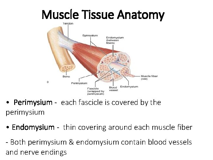 Muscle Tissue Anatomy • Perimysium - each fascicle is covered by the perimysium •