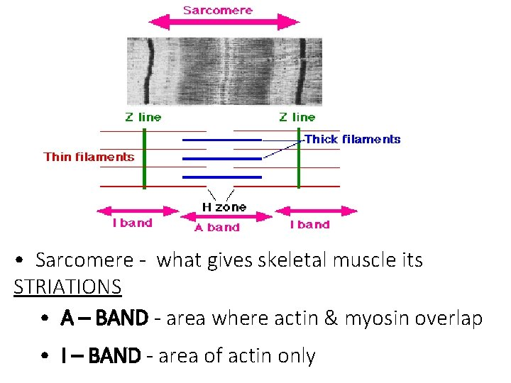 • Sarcomere - what gives skeletal muscle its STRIATIONS • A – BAND