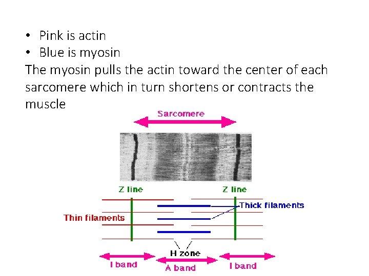 • Pink is actin • Blue is myosin The myosin pulls the actin