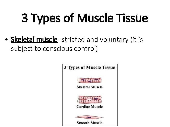 3 Types of Muscle Tissue • Skeletal muscle- striated and voluntary (it is subject