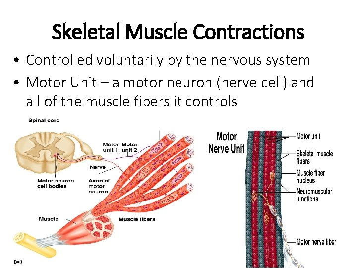 Skeletal Muscle Contractions • Controlled voluntarily by the nervous system • Motor Unit –