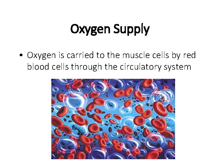 Oxygen Supply • Oxygen is carried to the muscle cells by red blood cells