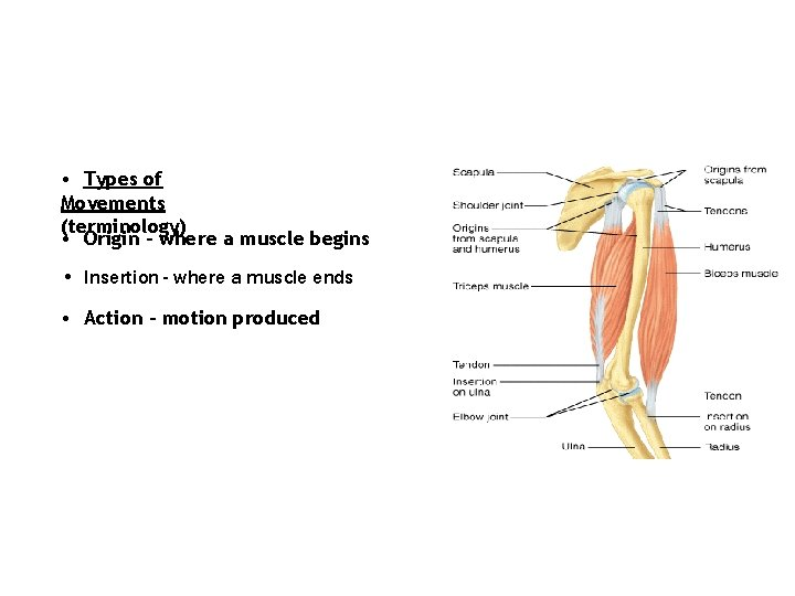 • Types of Movements (terminology) • Origin - where a muscle begins •