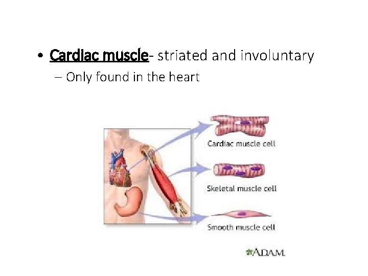 • Cardiac muscle- striated and involuntary – Only found in the heart