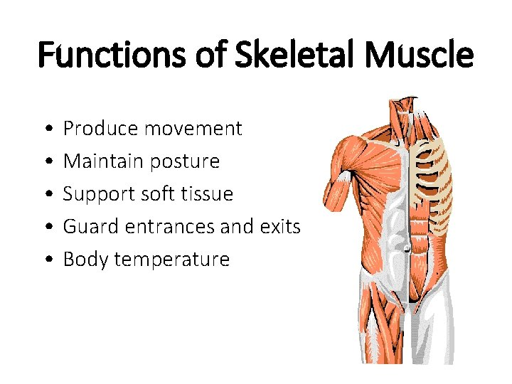 Functions of Skeletal Muscle • • • Produce movement Maintain posture Support soft tissue
