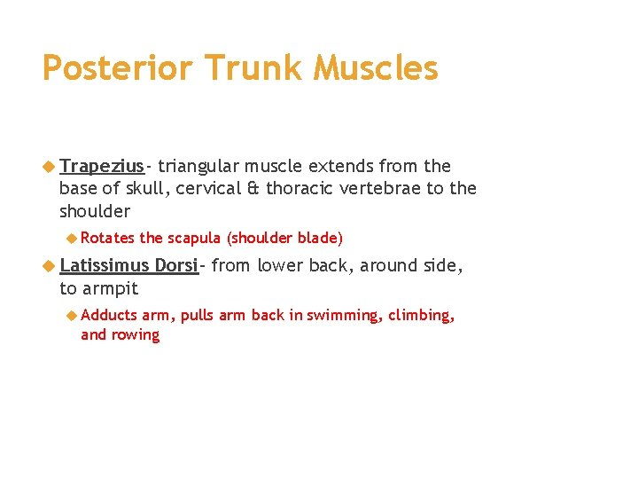 Posterior Trunk Muscles Trapezius- triangular muscle extends from the base of skull, cervical &