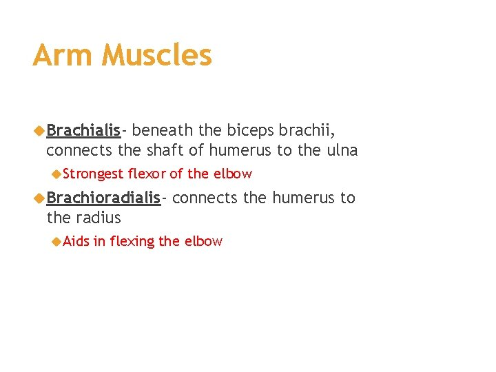 Arm Muscles Brachialis- beneath the biceps brachii, connects the shaft of humerus to the