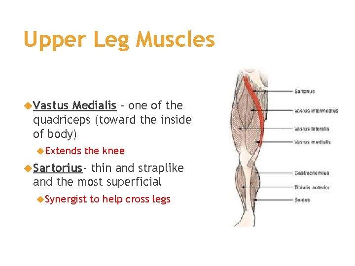Upper Leg Muscles Vastus Medialis – one of the quadriceps (toward the inside of