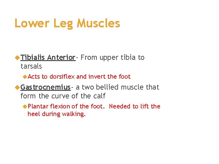 Lower Leg Muscles Tibialis Anterior- From upper tibia to tarsals Acts to dorsiflex and