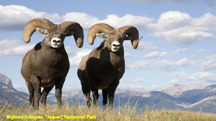 """Bighorn Schapen """"Jasper"""" Nationoal Park."""