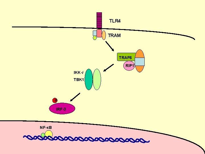 TLR 4 TRAM TRAF 6 RIP 1 IKK-i TBK 1 p IRF-3 NF-κB