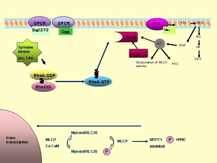 GPCR G 12/13 PLC GPCR G q IP 3 Rock AA Tyrosine kinase DAG