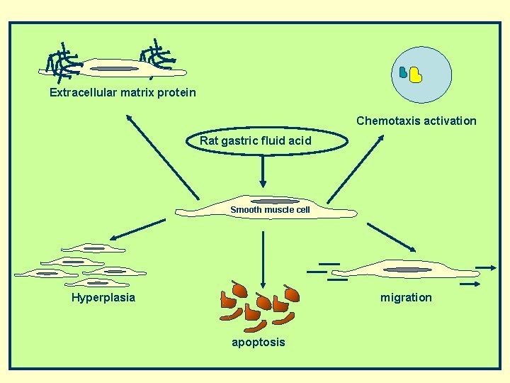 Extracellular matrix protein Chemotaxis activation Rat gastric fluid acid Smooth muscle cell Hyperplasia migration