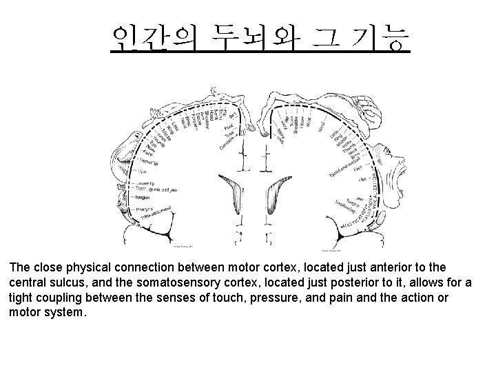 인간의 두뇌와 그 기능 The close physical connection between motor cortex, located just anterior