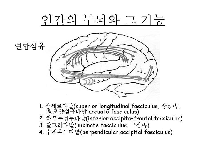 인간의 두뇌와 그 기능 연합섬유 1. 상세로다발(superior longitudinal fasciculus, 상종속, 활모양섬유다발 arcuate fasciculus) 2.