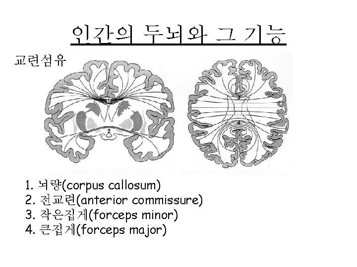 인간의 두뇌와 그 기능 교련섬유 1. 뇌량(corpus callosum) 2. 전교련(anterior commissure) 3. 작은집게(forceps minor)