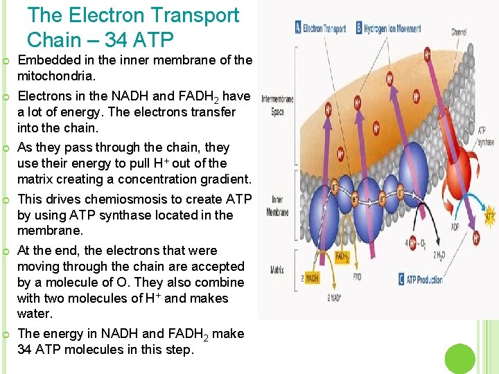 The Electron Transport Chain – 34 ATP ¢ Embedded in the inner membrane of