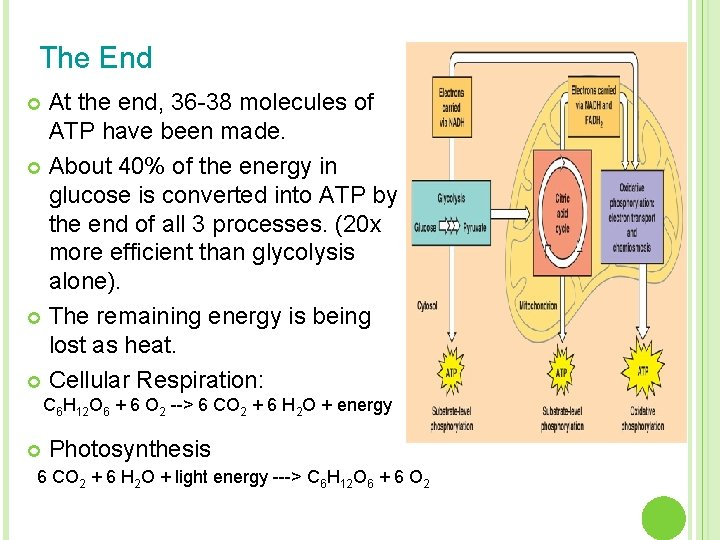 The End At the end, 36 -38 molecules of ATP have been made. ¢