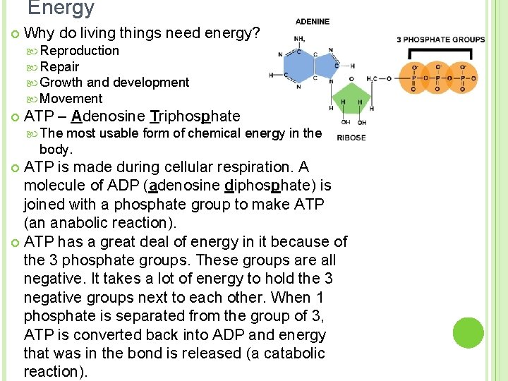 Energy ¢ Why do living things need energy? Reproduction Repair Growth and development Movement