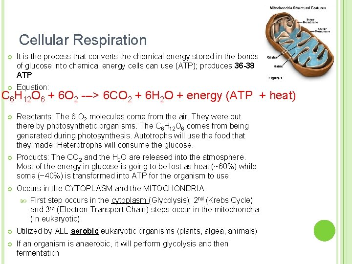 Cellular Respiration ¢ It is the process that converts the chemical energy stored in