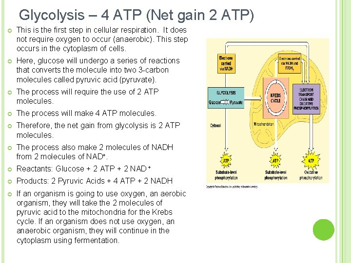 Glycolysis – 4 ATP (Net gain 2 ATP) ¢ This is the first step
