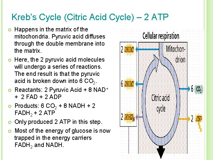 Kreb's Cycle (Citric Acid Cycle) – 2 ATP ¢ ¢ ¢ Happens in the