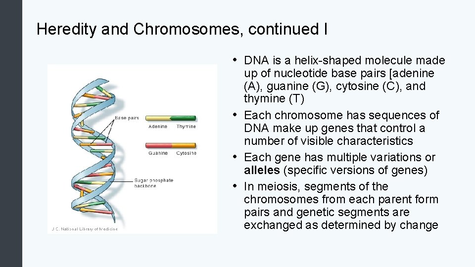Heredity and Chromosomes, continued I • DNA is a helix-shaped molecule made up of