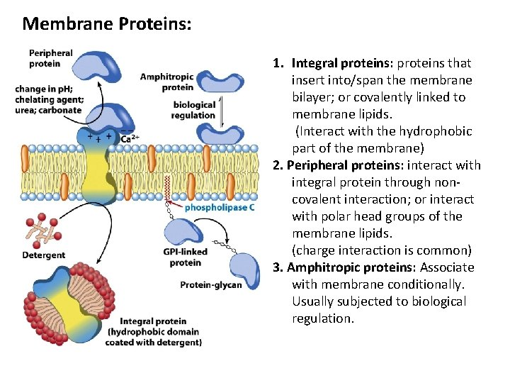 Membrane Proteins: 1. Integral proteins: proteins that insert into/span the membrane bilayer; or covalently