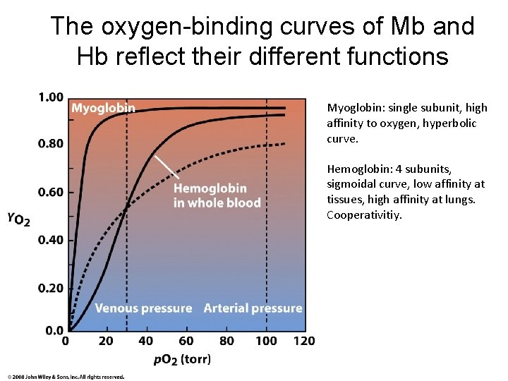 The oxygen-binding curves of Mb and Hb reflect their different functions Myoglobin: single subunit,