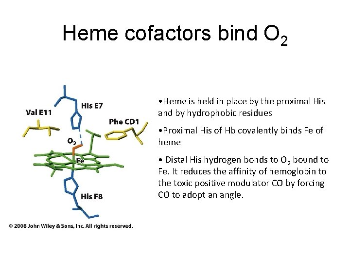 Heme cofactors bind O 2 • Heme is held in place by the proximal