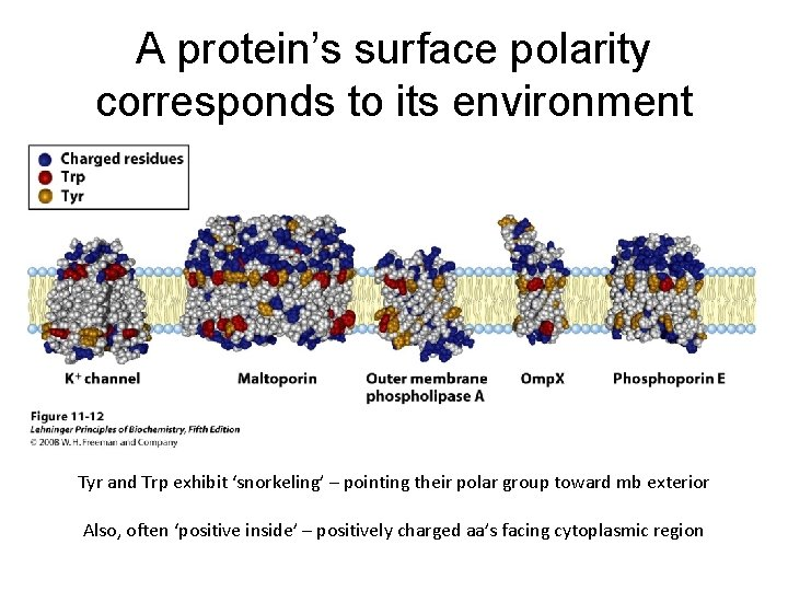 A protein's surface polarity corresponds to its environment Tyr and Trp exhibit 'snorkeling' –