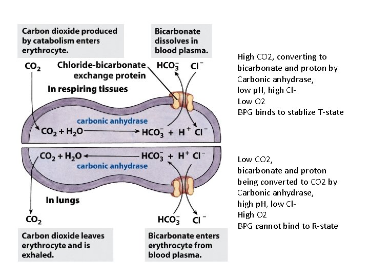 High CO 2, converting to bicarbonate and proton by Carbonic anhydrase, low p. H,