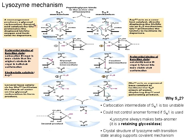 Lysozyme mechanism 35 Preferential binding of transition state: carbocation D-sugar is more stable than